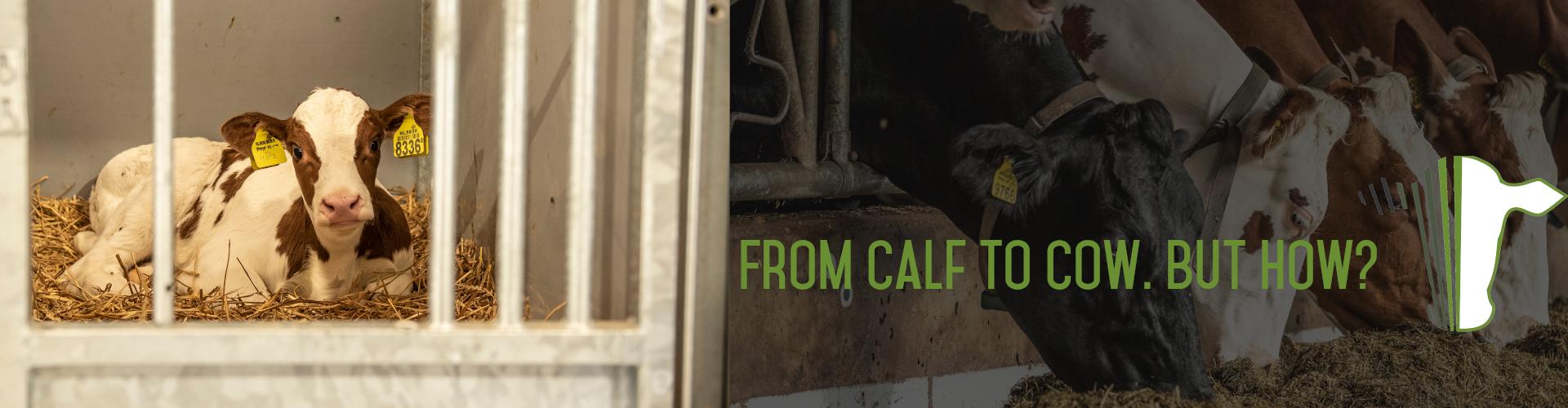 calf to cow